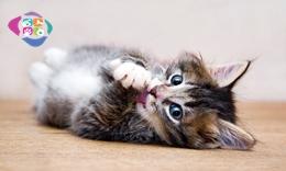 Kedi kısırlastırma