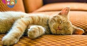 Kedi Tüyü Kist Yapar mı?