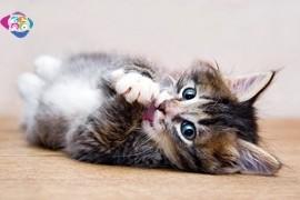 Yavru Kedi Bakım Rehberi